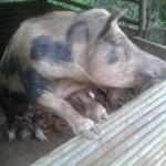 Local pig farm