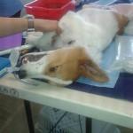 Dog during surgery