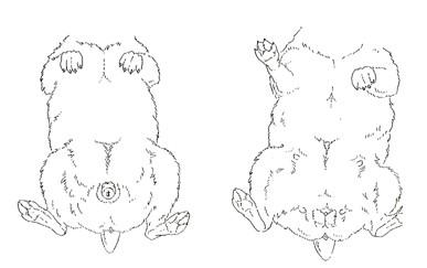 Sex female and male guinea pigs