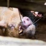Dentistry on a boar